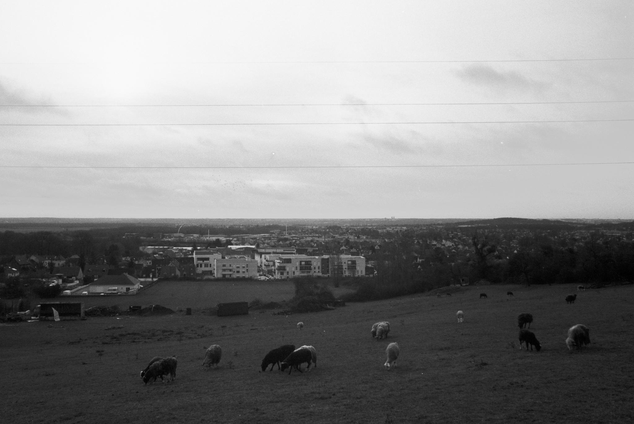 Photographie d'un décors rural avec des chèvres au premier plan et une ville à l'arrière plan